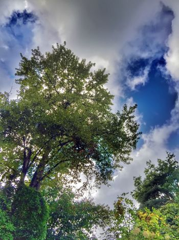 Tree Sky Low Angle View Growth Cloud Cloud - Sky Beauty In Nature Branch Nature Tranquility Scenics Cloudy Green Lush Foliage Outdoors Solitude Natural Pattern Growing Growth Views Perspective Natural Condition Backgrounds
