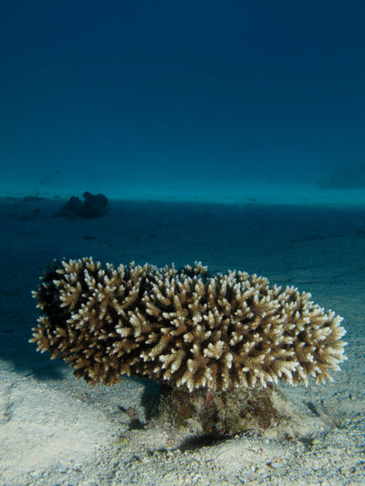 Table Coral
