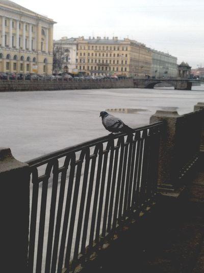 Печальный голубь( голубь гулигули река Pigeon River Petersburg петербург