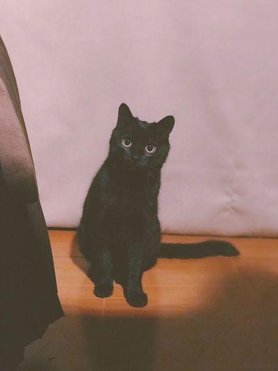 Looking At Camera Cute Cat Domestic Cat Mammal Feline Pets Domestic Domestic Animals One Animal Indoors  Sitting Black Color Portrait