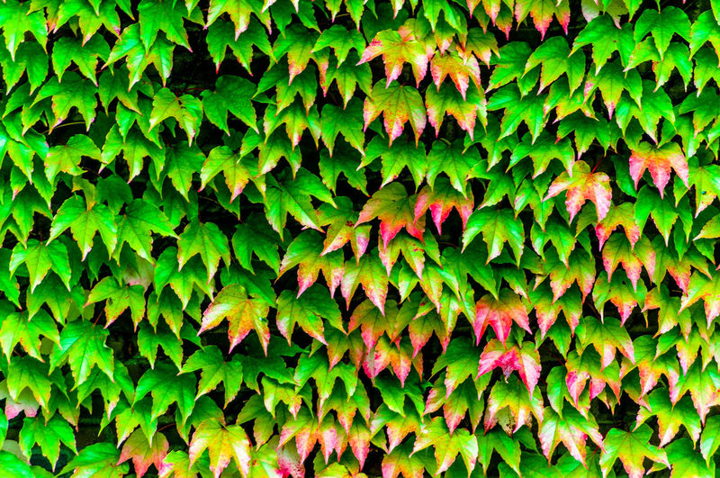 Leaves Backgrounds Beauty In Nature Contrast Day Green Green Color Leaf Leaves Lush Foliage Natural Pattern Nature Outdoors Red-green Tranquility