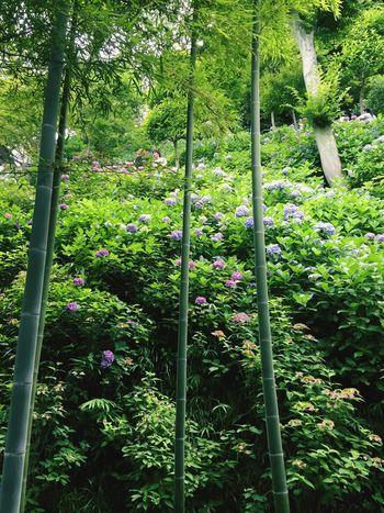 The Essence Of Summer Bamboo Hydrangeas