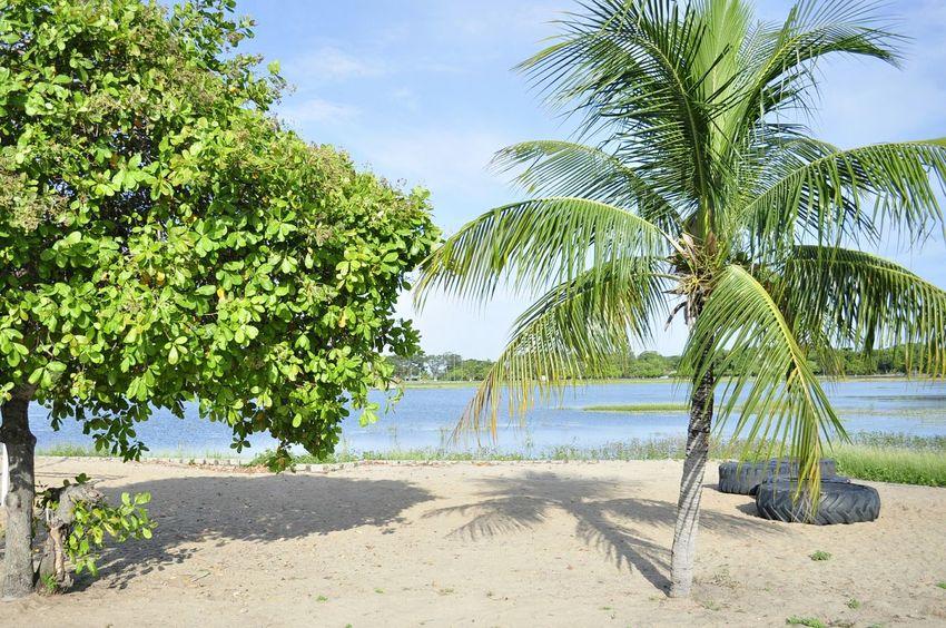 Cajueiro em oposição ao coqueiro... Coqueiro Cajueiro Lago