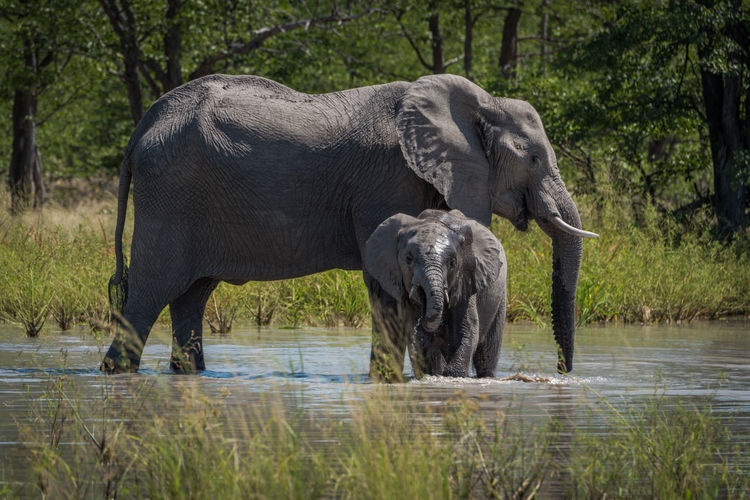 Elephant calf with its mother at waterhole