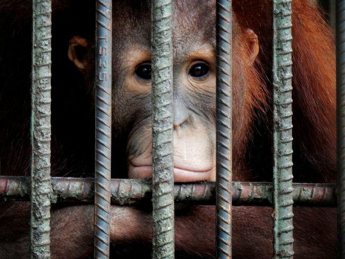 Orang Utan Orang Utan INDONESIA Mammal Domestic Animals Animal Themes Animals In The Wild Animal Zoo Zoology