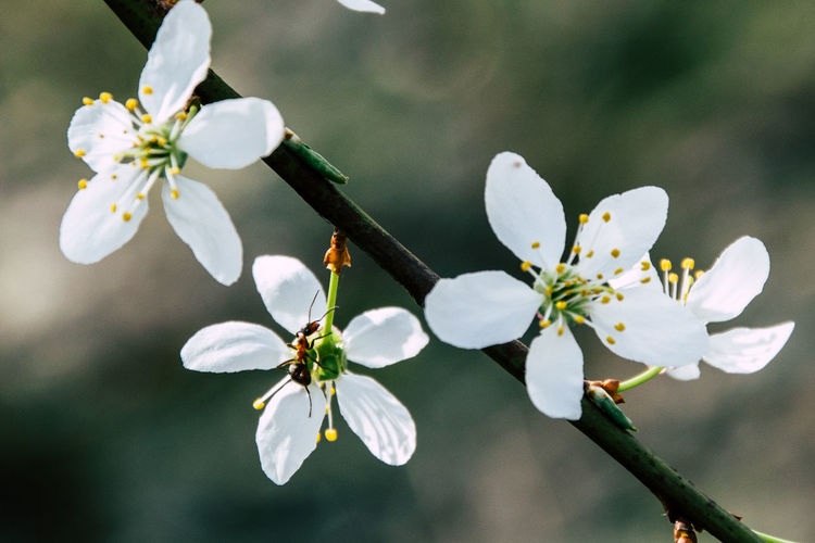 Outdoors Cherry Blossom Spring First Eyeem Photo Ant Ants Insect EyeEmNewHere EyeEm Nature Lover Nature Nature Photography Outdoors Cherry Blossoms Close-up Flower Head Tree Flower Branch Springtime Stamen Petal Blossom In Bloom Blooming Plant Life Blossoming