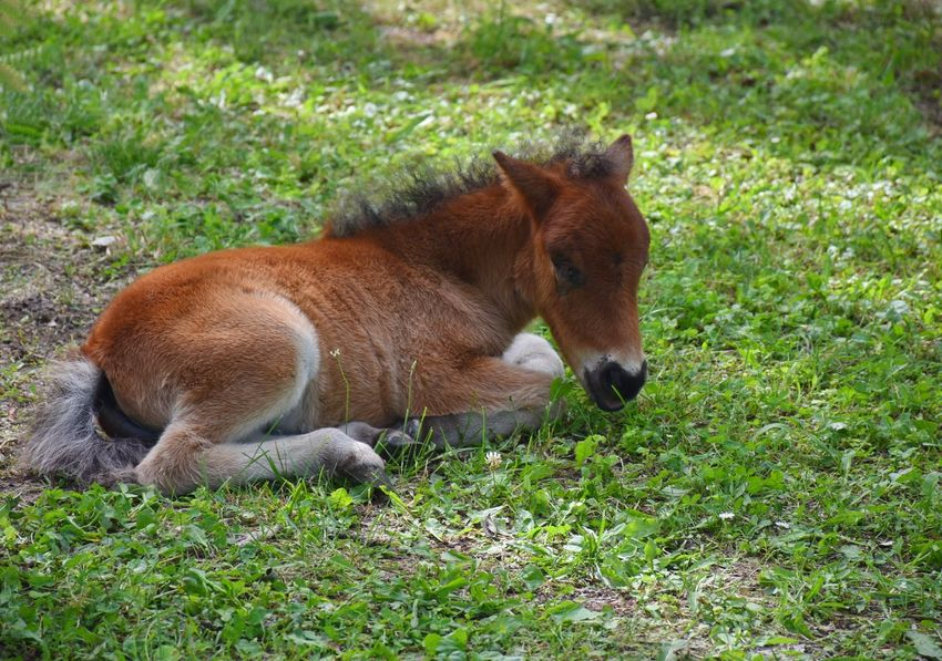 Pony Animal Animal Themes Brown Day Domestic Domestic Animals Field Foal Grass Green Color Horse Land Mammal Nature No People One Animal Outdoors