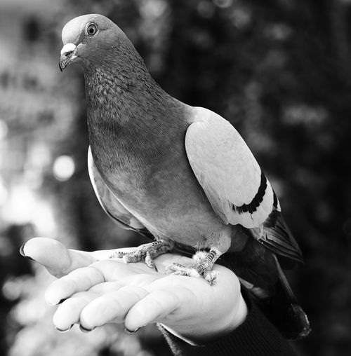 Pigeon Pigeon Bird  Guvercin Siyah&beyaz  Siyahbeyaz Blackandwhite Black White Black & White Human Hand Perching Close-up Animal Wing