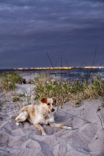 dog Cheetah Water Sea Beach Sand City Animal Themes Sky Dog Pet Collar Canine Dog Lead Pets