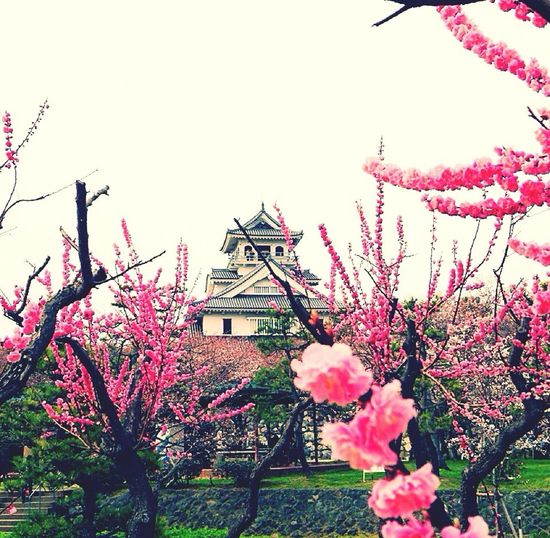 Cherry Blossoms Temple Ume
