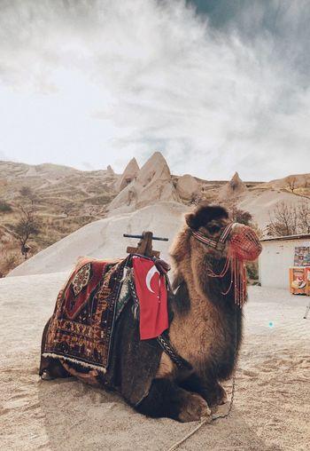 Camel in