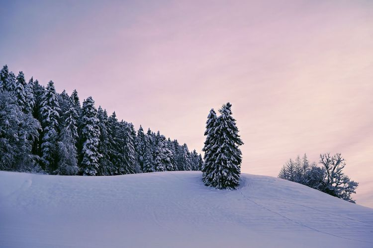 Pine trees on snow covered field against sky during sunset