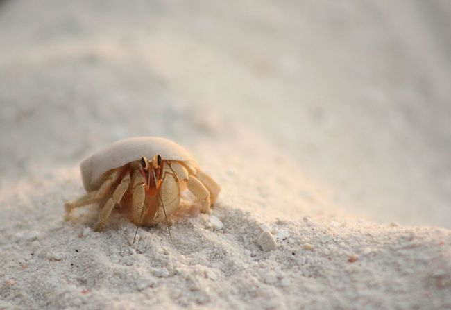 Crab Macro Sand