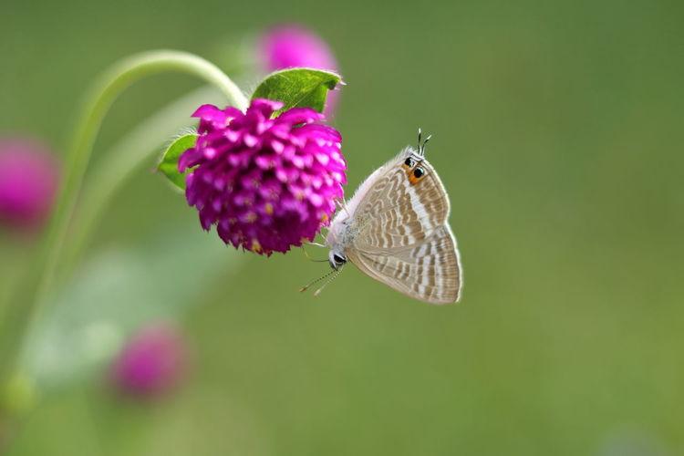 千日紅とウラナミシジミ Flower Flowerporn Insect Lycaenidae Beauty In Nature EyeEm Best Shots EyeEm Nature Lover From My Point Of View