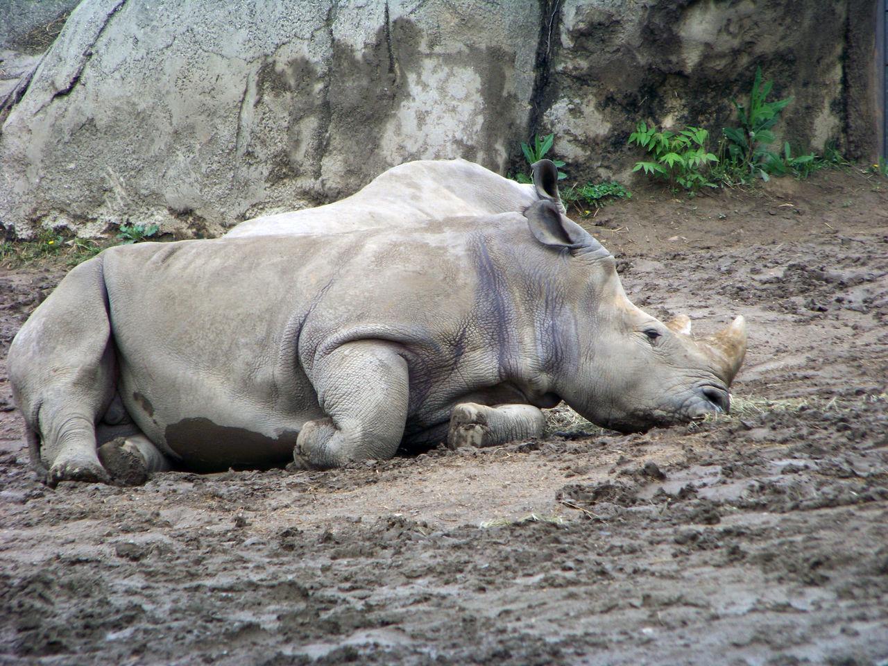 Rhinoceros Relaxing On Field