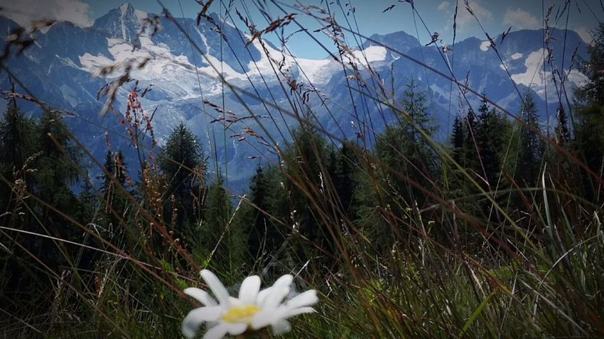 Flower Nature Outdoors Presanella Tonale Mountain