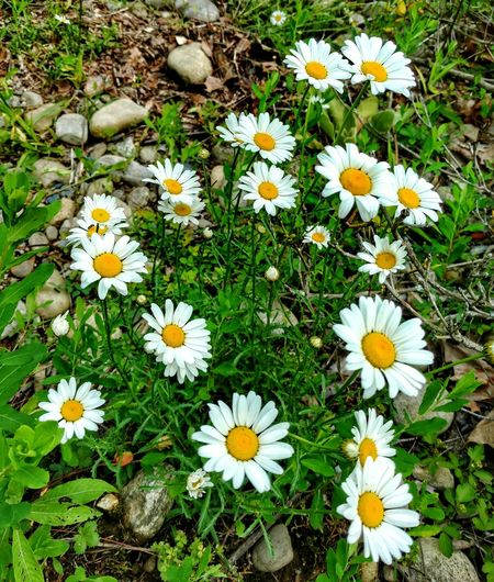 Daisies everywhere! Field Of Daisies Freshness High Angle View Beauty In Nature Blooming Outdoors No People Growth Nature Pollen Love Daisies❤️ Yellow And White Flowers Greeneryeverywhere Springtime Flowers Down By The Riverside EyeEm Nature Lover EyeEm Gallery EyeEm Best Shots Cell Phone Photography