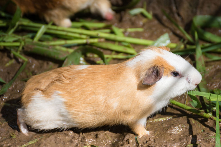 Guinea pig eating green grass in the Zoo.Thailand Guinea Pig Zoo Animal Themes Close-up Day Domestic Animals Grass Mammal Mouse Nature No People One Animal Outdoors Pets