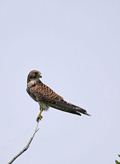 木の上のチョウゲンボウ Bird EyeEm Best Shots