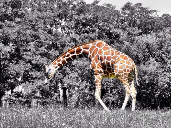 A giraffe at the Maryland Zoo in Baltimore. Animals Black And White Ips The Environmentalist – 2014 EyeEm Awards