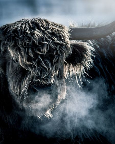 Close-up of highland cattle during winter