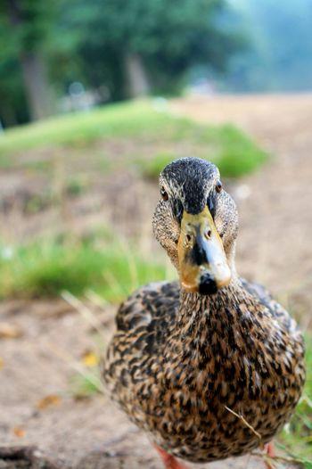 Close-Up Portrait Of Mallard Duck On Field
