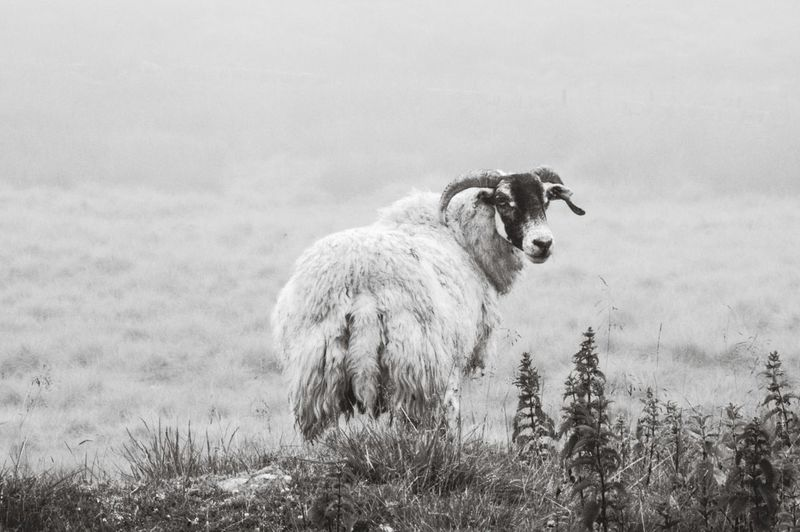 Animal Mammal Agriculture Grass Outdoors Nature Portrait Animal Wildlife No People Looking At Camera Day Domestic Animals Animal Themes Monochrome Black And White Wildlife Landscape Moorland Horns Sheep RAM Beauty In Nature One Animal Animals In The Wild Grass