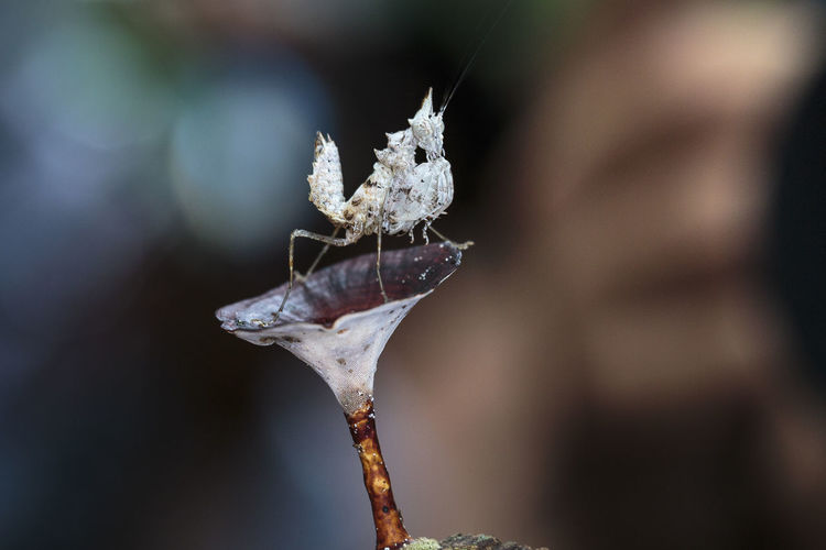 Close-up of unicorn mantis on plant