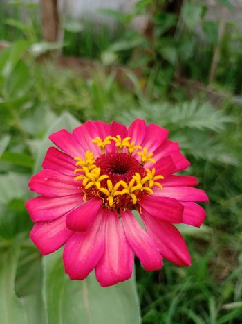 Flower Head Zinnia  Flower Pink Color Petal Summer Beauty Multi Colored Close-up Plant