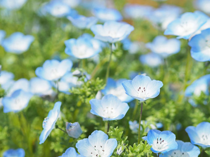 Nemophila flowers blooming beautifully (綺麗に咲いているネモフィラの花) Ad Beautiful Blue Color Copy Space Daytime Expo Memorial Park Green Japan Nature Nemophila Plant Suita Black Color Close-up Cute Flower It's Beautiful Landscape Margin No Person Nobody Outdoors Text Space White ネモフィラ