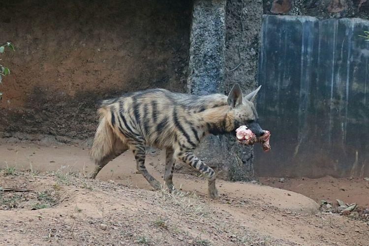 Hyena Hyena Hunnting Hyena ❤ Hunting Hunter Hunters Hunt Ferocious