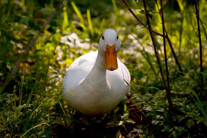 Animal Animal Themes Animal Wildlife Animals In The Wild Bird Close-up Duck Focus On Foreground Land Nature One Animal