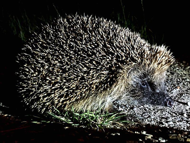 Hedgehog Nature Animals Night Nightlife