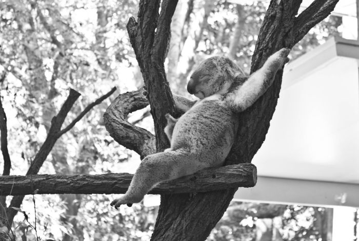 Koala Furry Chilling Chilling Koala Koala Sleeping Koala On A Tree Wildlife Australia Black & White Black And White Animal Cute