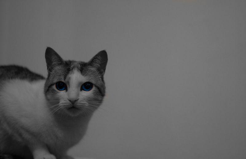 White cat Blue Eyes Black And White Cat Day Domestic Animals Domestic Cat Feline Pets Portrait Studio Shot White Cat