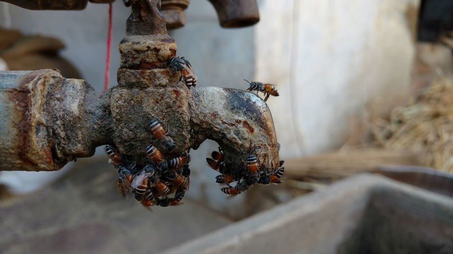 Honey bees on rusty faucet