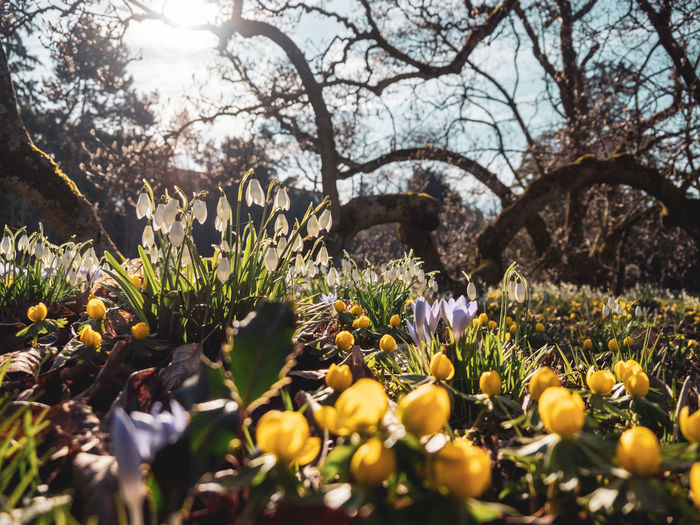 Plant Flower Flowering Plant Growth Freshness Vulnerability  Fragility Beauty In Nature Selective Focus Nature Land Tree Day Field No People Close-up Yellow Petal Flower Head Inflorescence Outdoors Springtime Surface Level Iris Spring