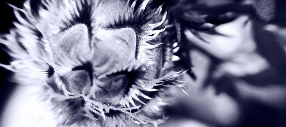 Blue Knapweed /