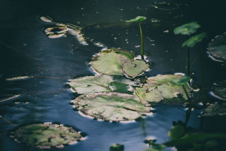 Water lilies grow on the shore of a lake despite pollution. Beauty In Nature Close-up Day High Angle View Lake Leaf Lilies Nature No People Outdoors Plant Reflection Sea Life Water Waterfront Wildlife