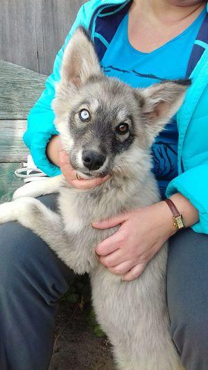 One Animal Dog Pets Heterochromia Heterochromia Dog Beautiful ♥ Animal Themes Moscow City Love♡ Followme