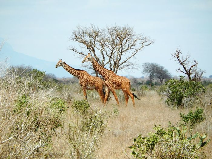 Side view of giraffes by trees on field against sky