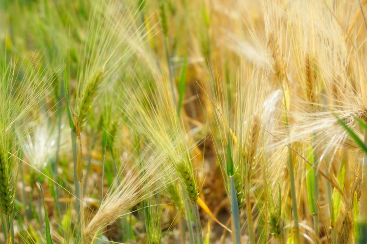 EyeEm Best Shots EyeEm Nature Lover EyeEm Gallery Agriculture Backgrounds Barley Beauty In Nature Cereal Plant Close-up Crop  Day Farm Field Food Green Color Growth Land Landscape Nature No People Outdoors Plant Rural Scene Rye - Grain Wheat