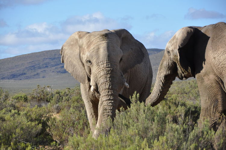 African Elephant Animal Wildlife Animals In The Wild Aquila Game Reserve Cloud - Sky Couple Day Elephant Landscape Mammal Nature No People Outdoors Sky