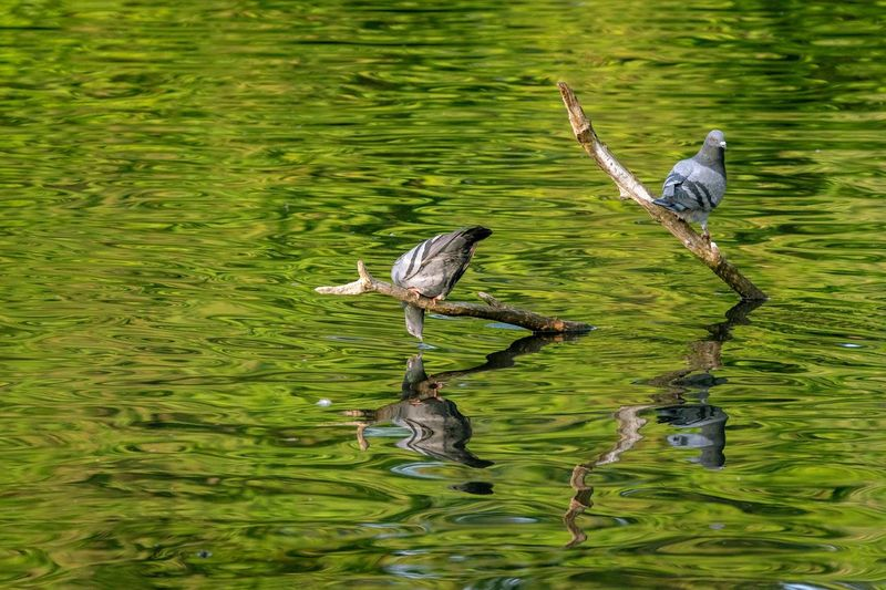 Animal Themes Vertebrate Animal Bird Animal Wildlife Water Animals In The Wild Beauty In Nature Lake Waterfront Reflection Two Animals Green Color Outdoors Day Nature
