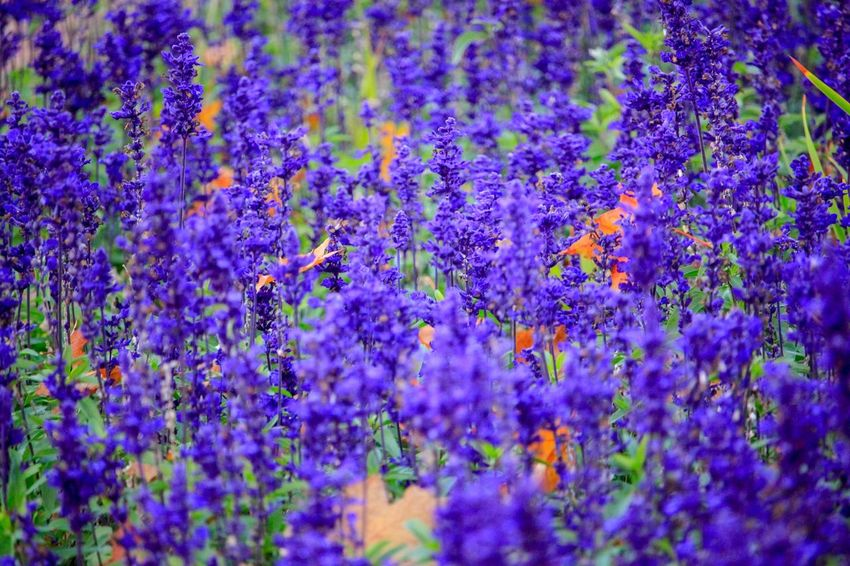 Blue field Naturephotography EyeEm Selects Nature Flower Flower Head Full Frame Multi Colored Purple Backgrounds Botanical Garden Close-up Plant Flowering Plant Blossom Plant Life In Bloom