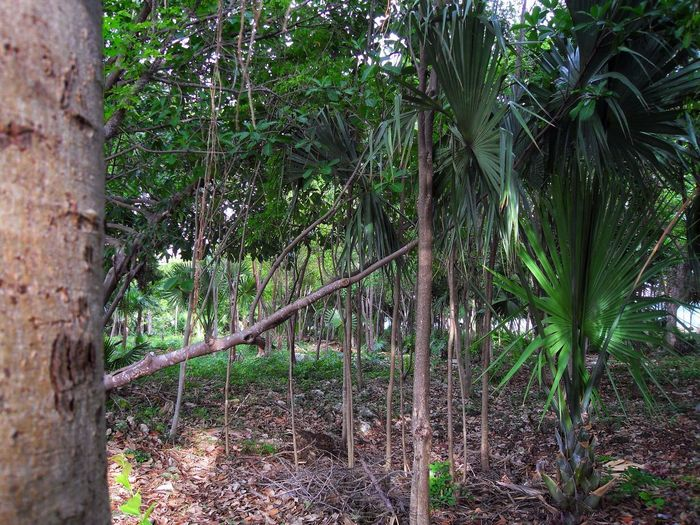 Day Flora Forest Growth Jungla Jungle Jungle Shoot Mexican Trees Nature No People Outdoors Palm Palm Tree Quintana Roo Quintanaroo Tree Tree Trunk