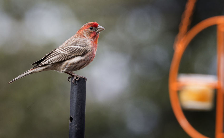 Sitting pretty Animal Animal Themes Animal Wildlife Animals In The Wild Beauty In Nature Bird Close-up Focus On Foreground Full Length House Finches Looking Away Metal Nature No People One Animal Orange Color Outdoors Perching Pole Vertebrate