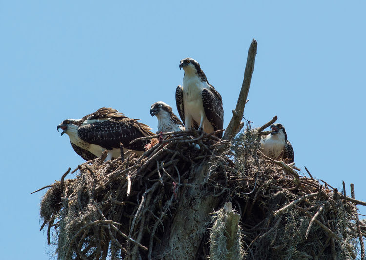 Low Angle View Of Ospreys On Nest Against Clear Sky