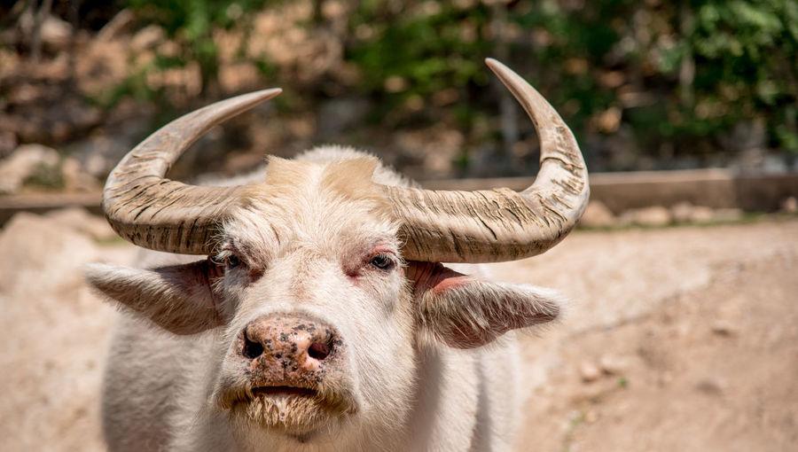 Close-up portrait of buffalo at farm