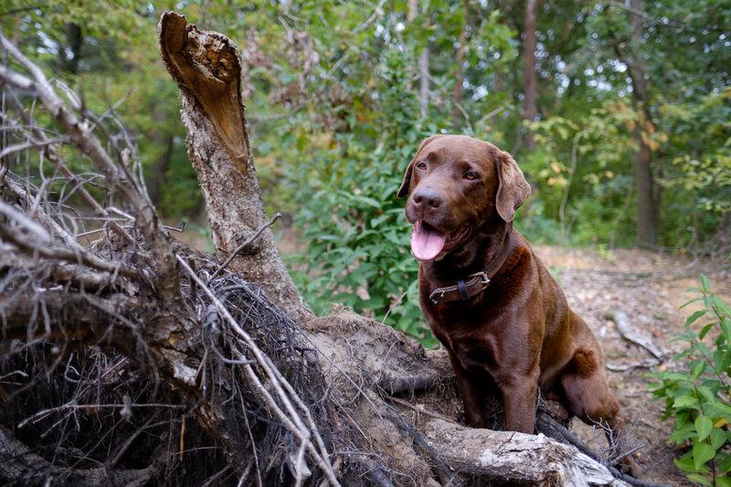 Brownlabrador Labrador EyeEm Selects Tree Pets Dog Portrait Protruding Sitting Close-up Animal Tongue